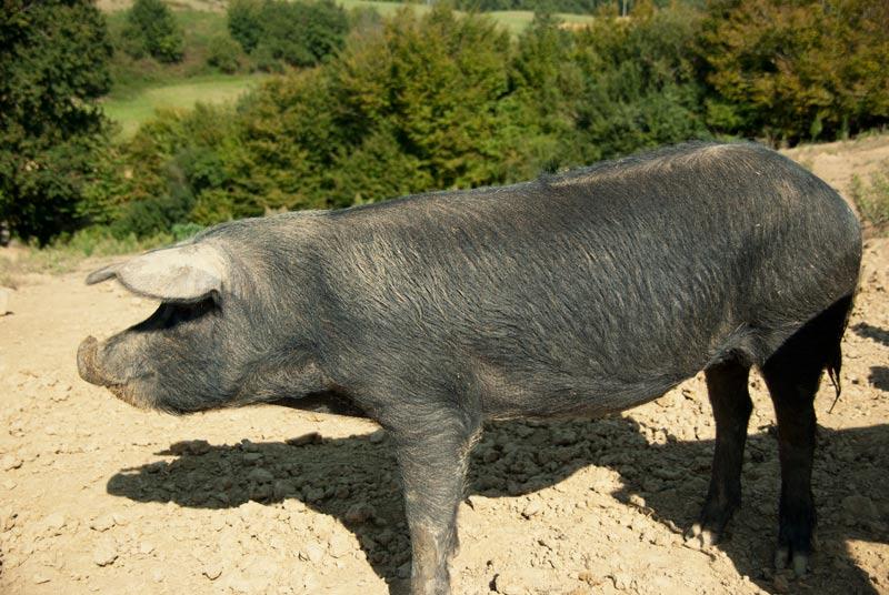 Le Porc Noir Gascon